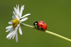 Ladybird. A ladybird, sitting on a flower, isolated on a green background Stock Image