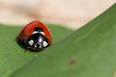 ladybird Zdjęcie Stock
