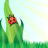 Ladybird. On the grass in sunny day Royalty Free Stock Image