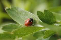 Ladybird. 7-spot ladybird on green leaf, in garden, Worksop, Notts, England Stock Images