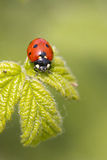 Ladybird Royalty Free Stock Photos