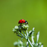 Ladybird Royalty Free Stock Image