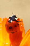Ladybird...(2). Here is a ladybird on a flower Stock Photography