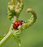 Ladybird 2 Royalty Free Stock Image