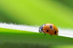 Ladybird. A ladybird climbing on a green leaf Stock Photo
