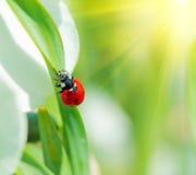 ladybird Стоковые Фотографии RF