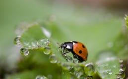 ladybird Стоковая Фотография