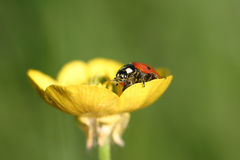 Ladybird. A little ladybird resting on a buttercup royalty free stock photography