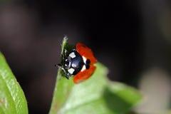 ladybird Obraz Stock