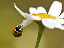 Ladybird. Beetle (Coccinellidae) climbing to the flower Stock Image