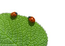 Ladybird. Two ladybird on green leaf. Coccinellidae Latreille Royalty Free Stock Images