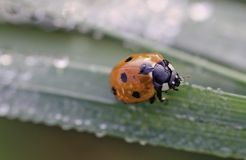 Ladybird. A ladybird covered with dew Stock Photography