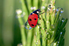 Ladybird. In dew on a grass Royalty Free Stock Photo