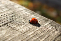 Ladybird. Macro image of sweet ladybird on wooden surface Royalty Free Stock Image