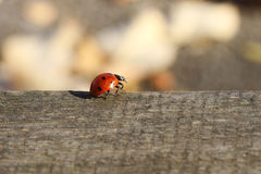 Ladybird. Macro image of sweet ladybird on wooden surface Stock Photos