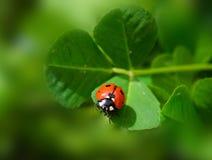 Ladybird Images libres de droits