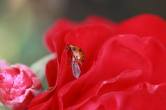 Ladybird Fotografie Stock Libere da Diritti