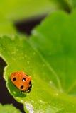 Ladybird Стоковые Изображения