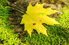 Ladybird на лист Стоковые Изображения