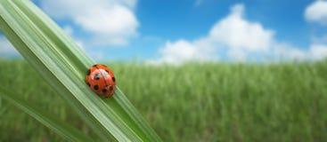 ladybird Стоковое Фото