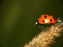 Ladybird. On a dry blade of grass (on green background Royalty Free Stock Images