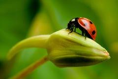 Ladybird. Sitting no the flower bud Royalty Free Stock Photos