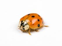 ladybird Стоковое фото RF