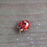 ladybird Foto de Stock Royalty Free
