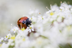 ladybird foto de stock royalty free