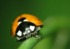 Ladybird. Face Royalty Free Stock Images
