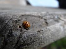 ladybird Imagens de Stock