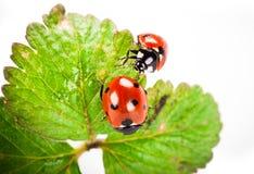 ladybird Fotos de archivo libres de regalías