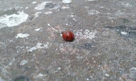 ladybird Стоковые Изображения RF