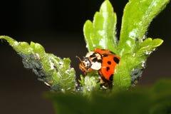 ladybird Imagem de Stock Royalty Free