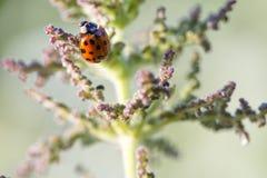 Ladybird макроса Стоковая Фотография RF