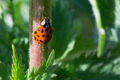 Ladybird макроса Стоковое Фото