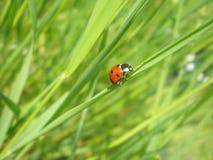 ladybird Zdjęcia Stock
