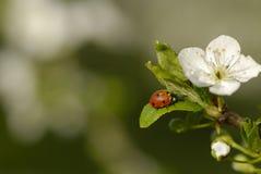 Ladybird Stock Image