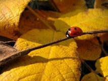 ladybird Fotografía de archivo
