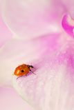 Ladybird. Little  ladybird with dew drops on a  orchid Stock Photography