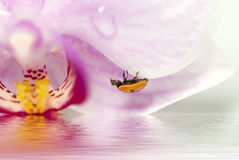 ladybird. Little  ladybird with dew drops on a violet orchid over the water Royalty Free Stock Image