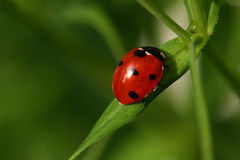Free Ladybird Royalty Free Stock Photography - 754207