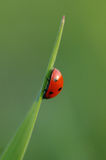 LADYBIRD. Ladybug sitting on a leaf tip Royalty Free Stock Images