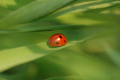 LADYBIRD. Ladybug sitting on a leaf tip Stock Photos