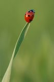 LADYBIRD. Ladybug sitting on a leaf tip Royalty Free Stock Photography