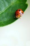 ladybird Zdjęcie Royalty Free