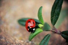 ladybird Fotografía de archivo libre de regalías