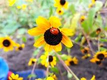 ladybird Imagem de Stock