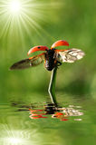 Ladybird. With wings on the grass with water as background Royalty Free Stock Photo