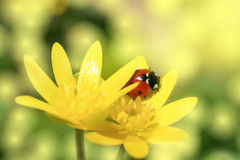 Ladybird Royalty Free Stock Image
